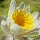 Water Lily by vigor