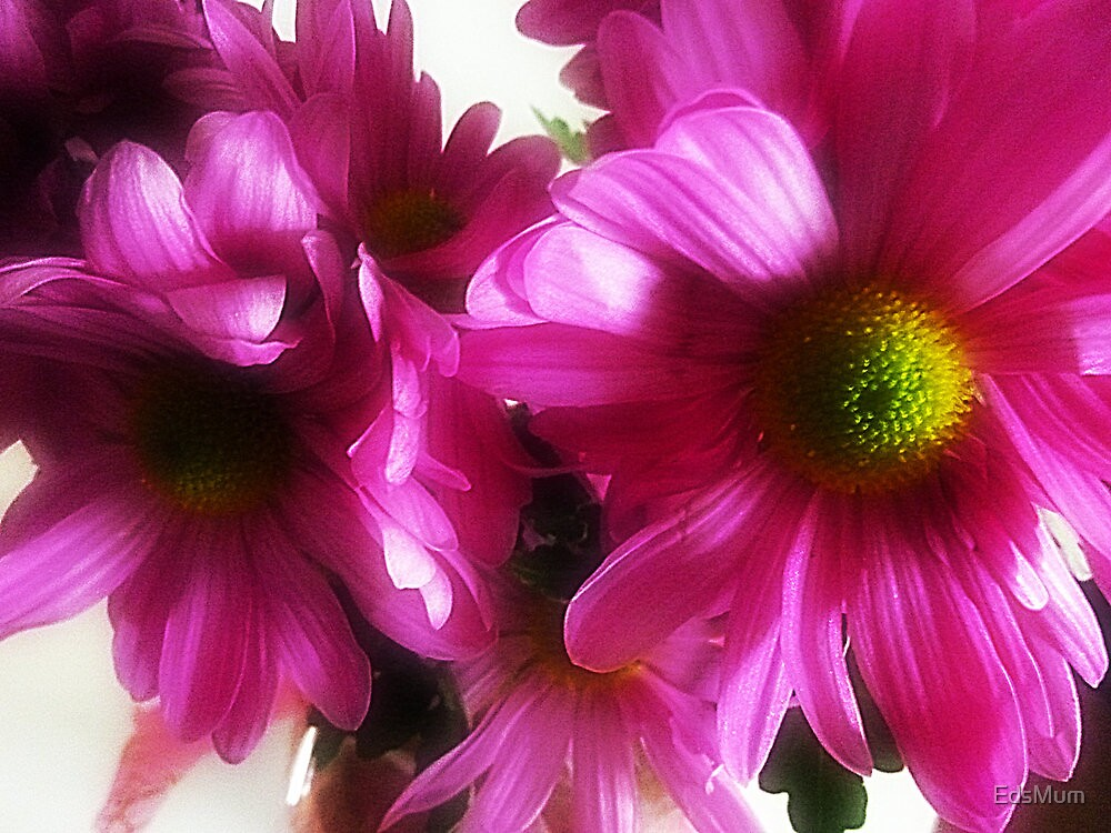 Beauty of the Chrysanthemum by EdsMum