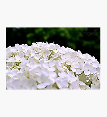White Hydrangeas Photographic Print