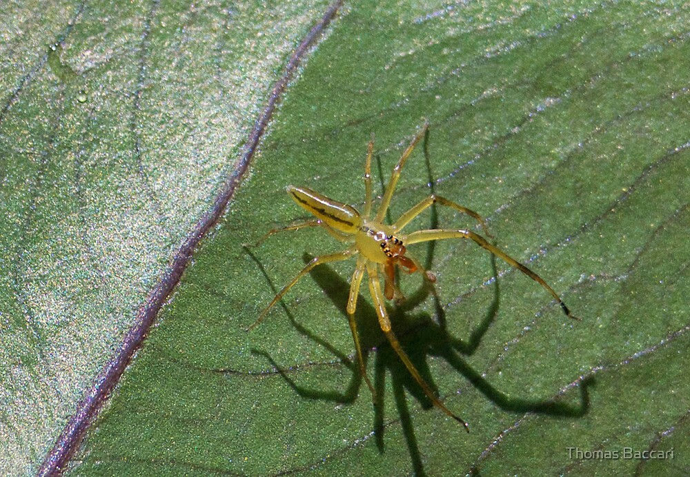 LYNX SPIDER AND HIS SHADOW by TJ Baccari Photography