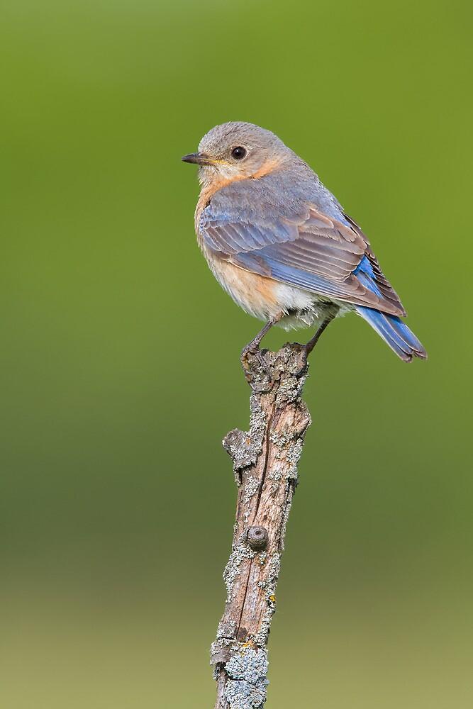 Female Eastern Bluebird. by Daniel Cadieux