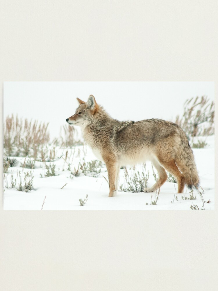 Alternate view of Snow 'yote Photographic Print