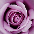 Purple Rose by MaggieGrace