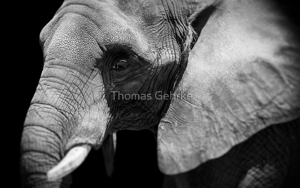 Pachyderm Profile by Thomas Gehrke