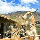 Mountain Goat by sajal maskey