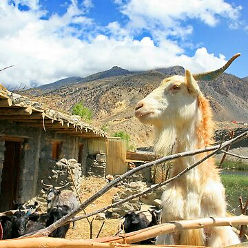 Mountain Goat by sajshr