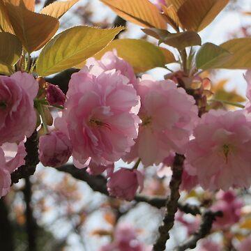 Pink Sakura flowers in Japan by kittiemeow