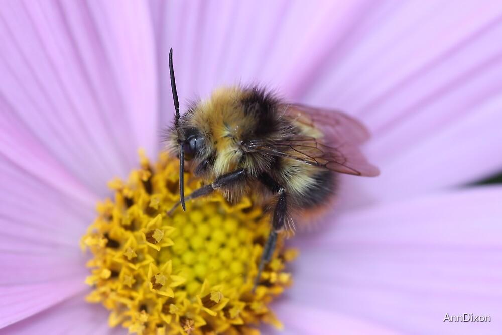 Bumble Bee Macro by AnnDixon