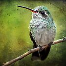 A Broad-billed Hummer by Barbara Manis