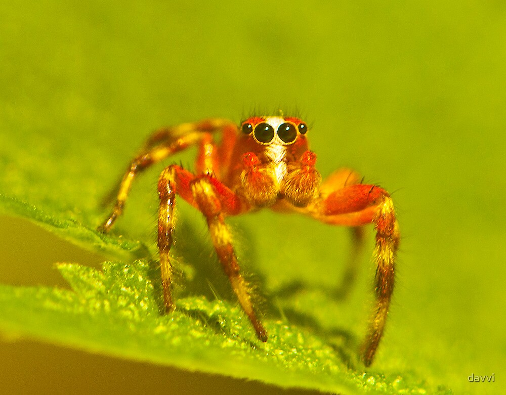 red jump spider by davvi