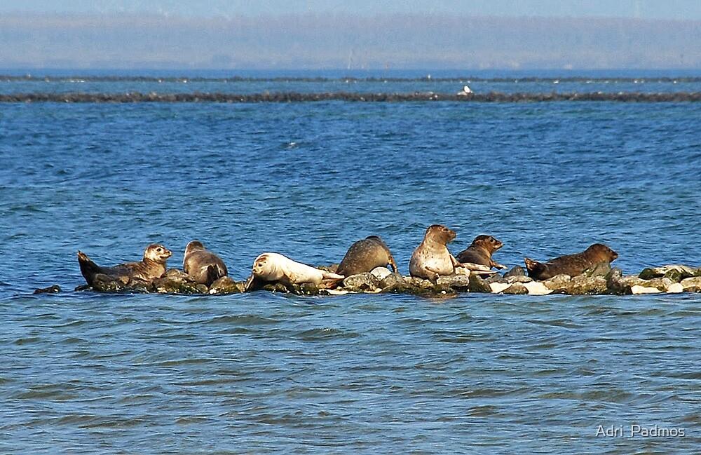 Seals at Lake Grevelingen 2 by Adri  Padmos