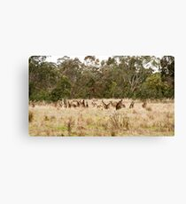 Troop of Kangaroos Canvas Print