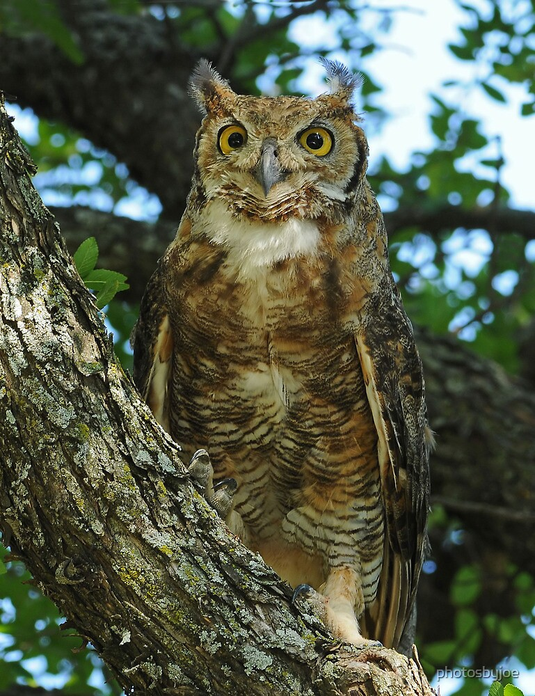 Great Horned Owl by photosbyjoe