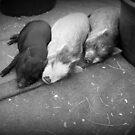 three little pigs von Marianna Tankelevich