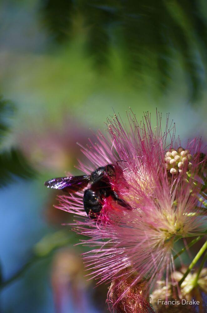 Great Cretan Black Bee On Albizia Flower by Francis Drake