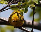 Yellow Warbler by Dennis Cheeseman