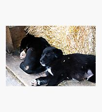 Pups Photographic Print