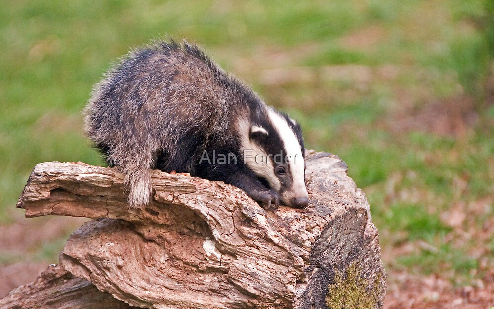Badger cub playing on log by Alan Forder