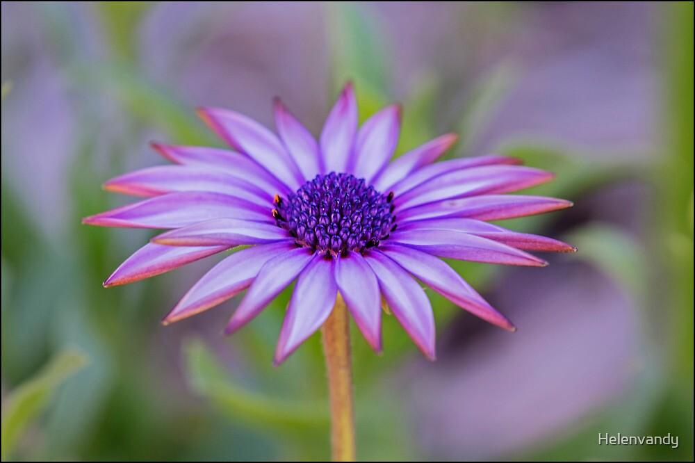 Daisy beauty by Helenvandy