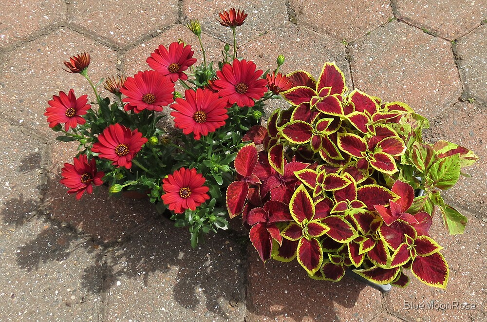 Bright and Beautiful - Crimson Coleus and Cape Daisies by BlueMoonRose