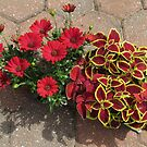 Bright and Beautiful - Crimson Coleus and Cape Daisies von BlueMoonRose