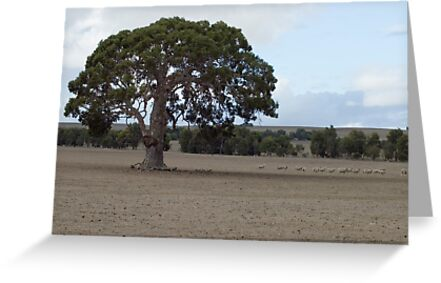The effects of an Australian Drought on the sheep by Graeme Rouillon