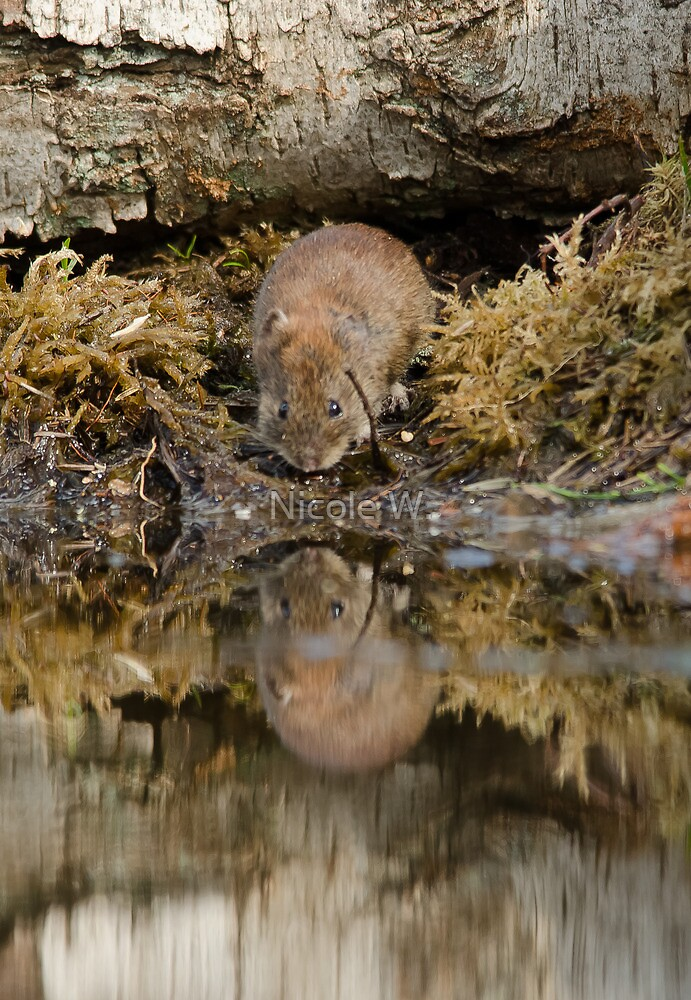 A little mouse reflection by Nicole W.