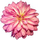 Pink Dahlia by ColdNorth