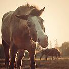Appaloosa Horse in the Evening by jamieleigh