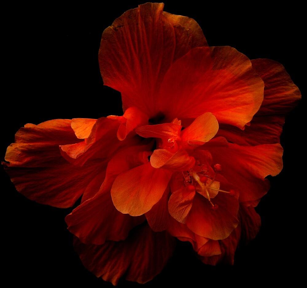 Hibiscus Series 1 by Koon