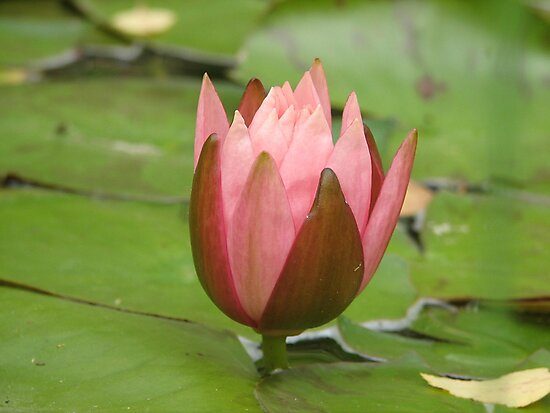 Pink Water Lily by PicsbyJody