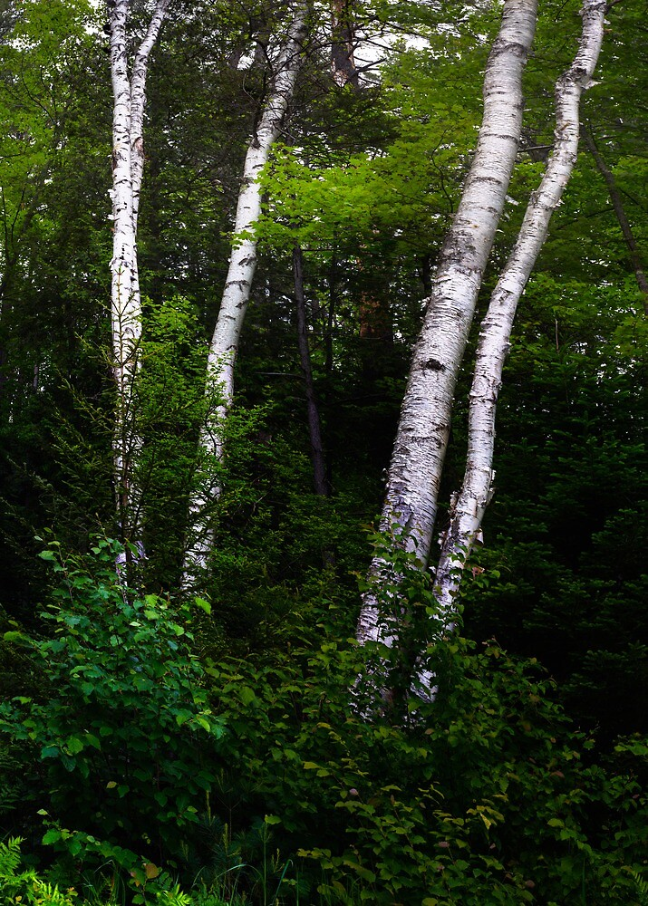 White Birches in the Forrest by Nazareth