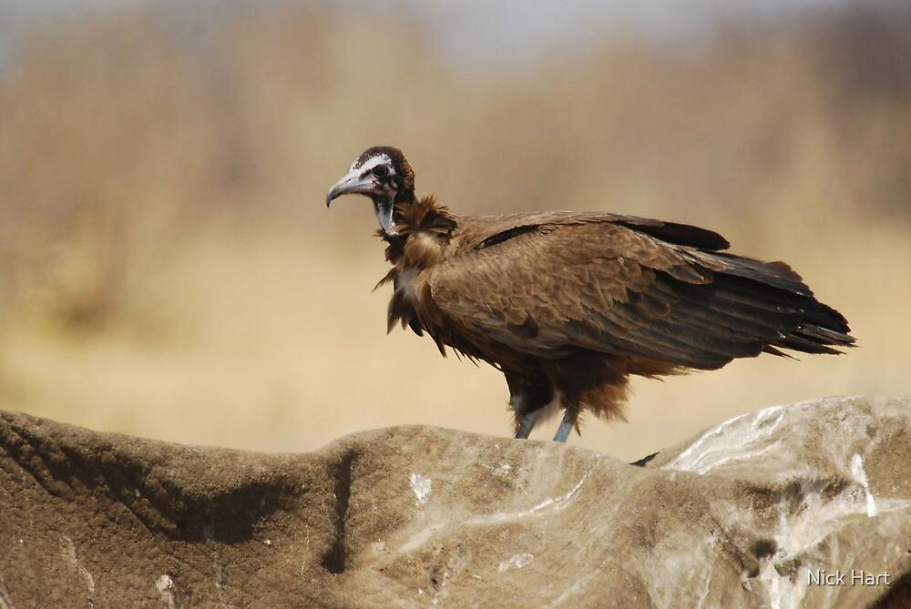 Hooded Vulture by Nicholas Hart