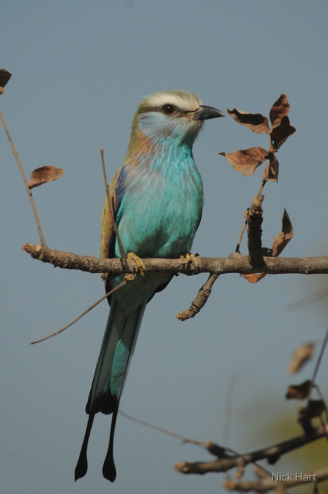 Racket-tailed Roller by Nicholas Hart