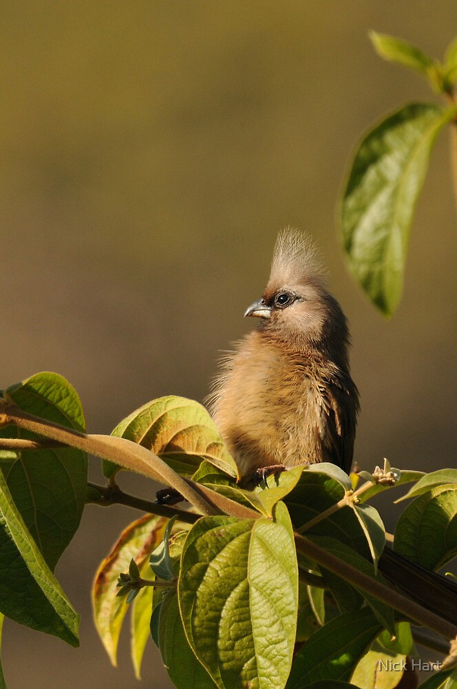 Speckled Mousebird by Nicholas Hart