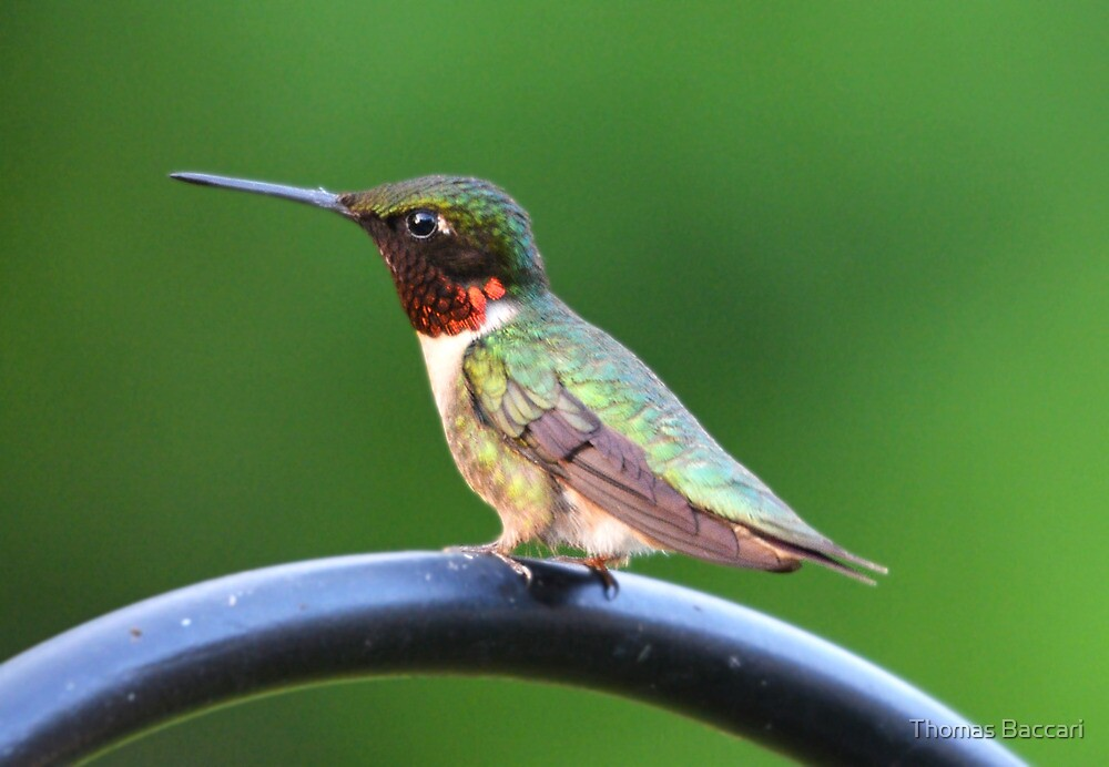 Male Ruby Throated Hummingbird by TJ Baccari Photography