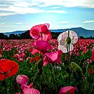 It's Poppy Love by Charles & Patricia   Harkins ~ Picture Oregon
