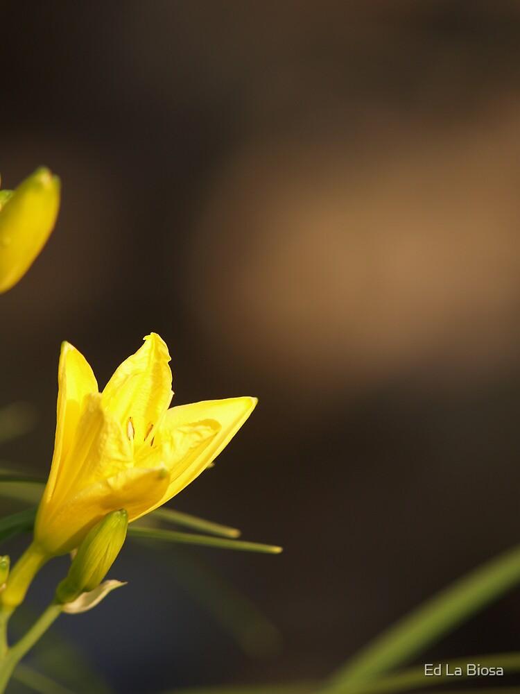 Daylily by labiosa