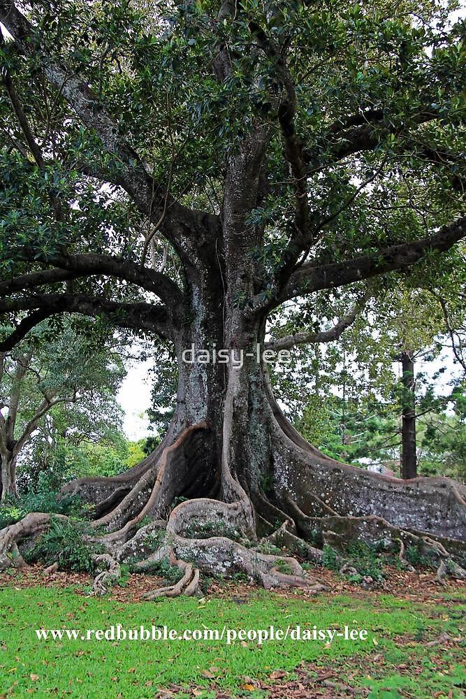 Moreton Bay Fig tree 2 by daisy-lee