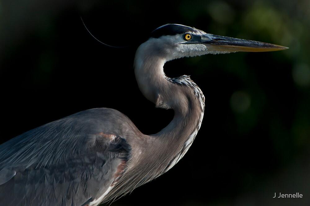 Great Blue Heron Profile by J Jennelle