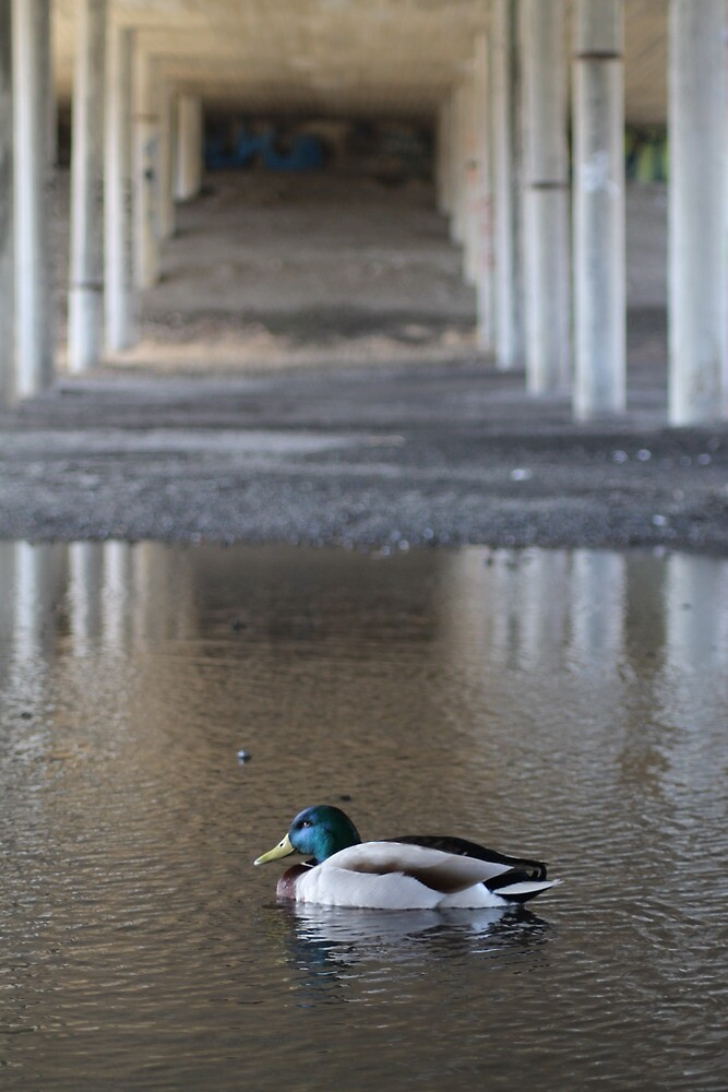 Urban duck by UpNorthPhoto
