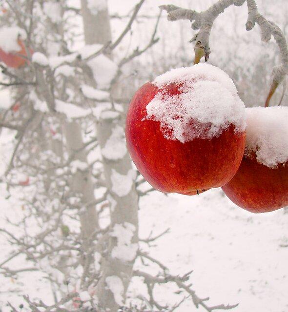 Winter Apples by John Poon
