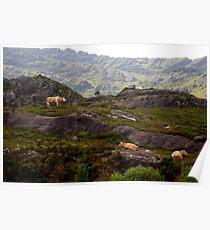 Cows on rocks Poster