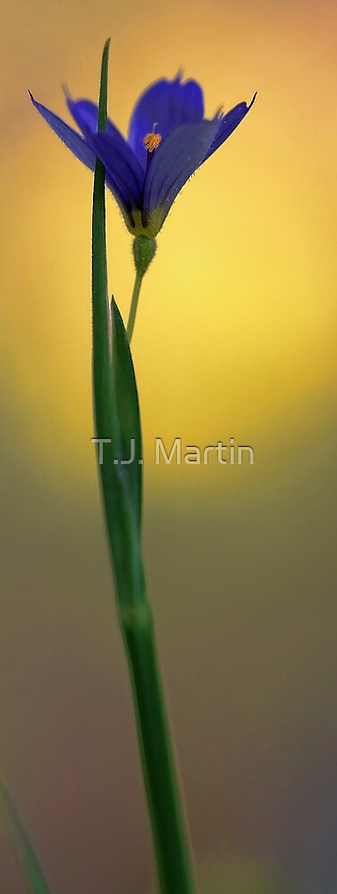 Blue Eyed Grass -- In a Soft Afternoon Light by T.J. Martin