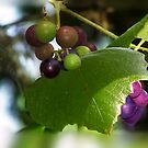 Mustang Grape Vine by Penny Odom