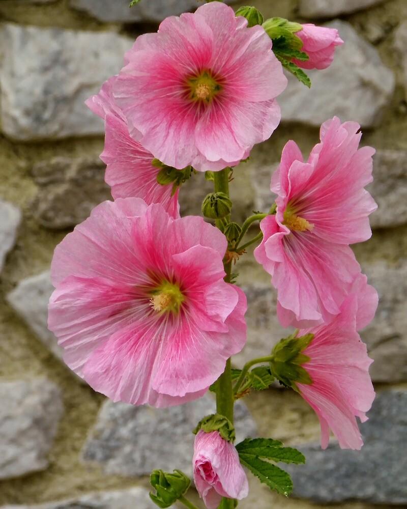 Pretty Pink Hollyhocks by PineSinger