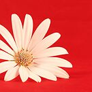 White flower in red background by gianliguori
