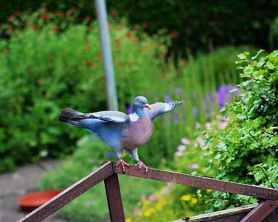 Pigeon about to fly by ejrphotography