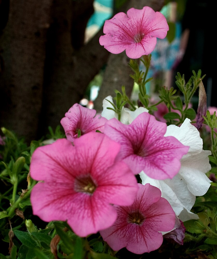 California Petunias by Karen Harrison