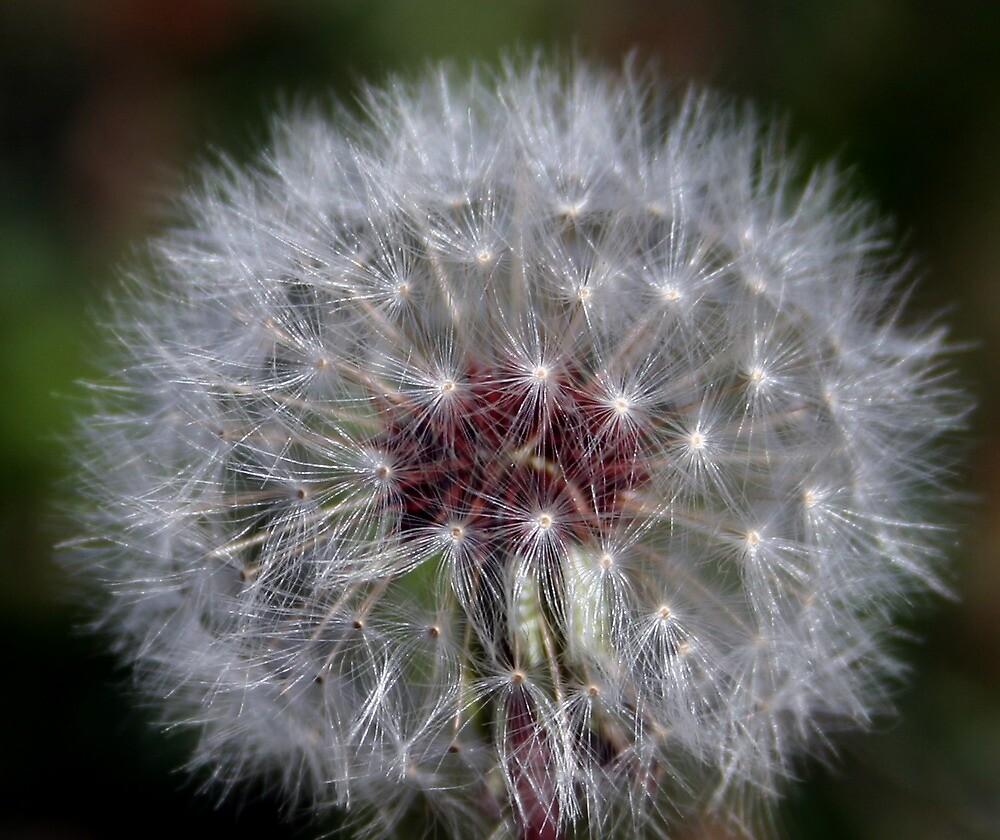 Dandelion by Karen Harrison